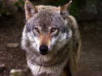 Les caractéristiques physiques du loup