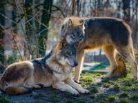 La vie du loup au sein de la meute