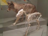 La physiologie du coyote