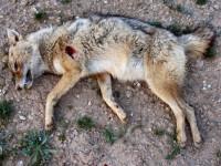 Le massacre des coyotes