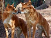 Le lieu d'habitat et le mode de vie du dingo