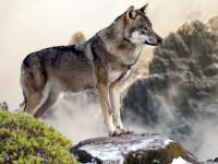 Le retour du loup en France