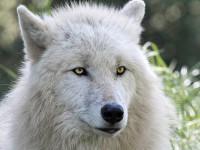 Les différentes espèces de loup