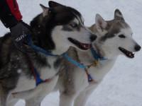 Les différences de comportement entre le loup et le chien
