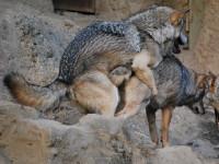 La reproduction chez le loup et le chien