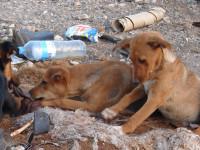 Les chiens pariahs : origines et lieux d'habitat