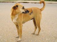 La physionomie des chiens pariahs