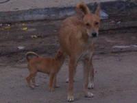 Le comportement des chiens pariahs