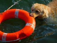 Apprendre au chien le rapport d'objet et le remorquage