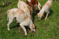 Le travail des chiens face aux ruses de l'animal chassé