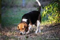 Les meilleures races de chiens de chasse à courre