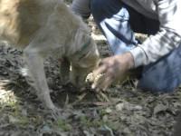 Chiens de berger, de chasse, truffier