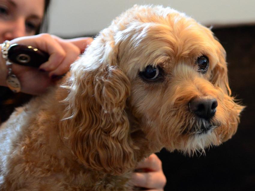 La chute des poils du chien - Enlever poil de chien voiture ...