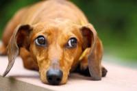 Les chiens ne sont pas égaux face au syndrome de Cushing