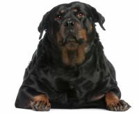 Pourquoi traiter le surpoids et l'obésité de mon chien ?