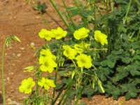 Les plantes toxiques pour les chiens l allamanda for Plante toxique chien