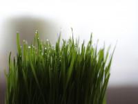 les plantes toxiques pour les chiens l 39 herbe chat. Black Bedroom Furniture Sets. Home Design Ideas