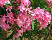 Les plantes toxiques pour les chiens le laurier rose - Laurier rose feuilles seches ...