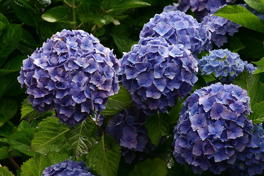 Les plantes toxiques pour les chiens l 39 hortensia for Plante toxique chien