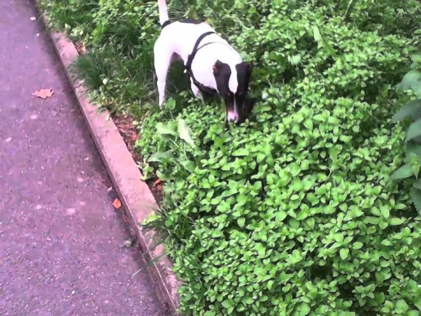 Les plantes toxiques pour les chiens for Plante toxique chien