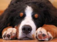 Les symptômes de l'asthme chez le chien