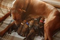La phéromone maternelle de la chienne : l'apaisine canine ou DAP