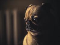 Préparer la saillie de la chienne