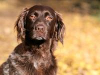 Les maladies héréditaires chez le chien
