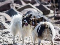 La fréquence des chaleurs chez la chienne