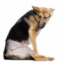 Le traitement contre la douleur du chien ou du chat