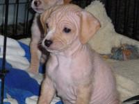 L'hypotrichose congénitale, anomalie génétique chez le chien