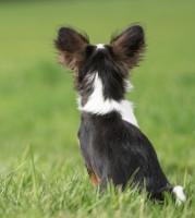 Reconnaître la surdité chez le chien