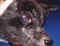 Les manifestations de la maladie chez le chien
