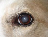 Les causes de la cataracte chez le chien