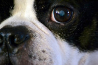 La cataracte du chien, un problème courant