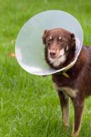 Prévention de la conjonctivite du chien