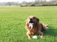 Les symptômes de la dysplasie coxo-fémorale chez le chien