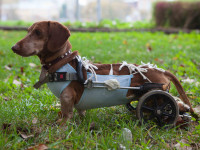 Qu'est-ce que la dysplasie de la hanche du chien ?