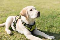 Les races de chiens les plus touchées par la dysplasie