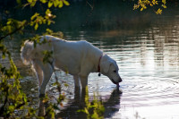 Comment les chiens contractent-ils la giardiose?