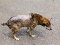 Les symptômes de la leishmaniose chez le chien