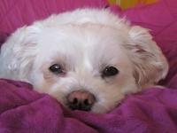 Comment se transmet la parvovirose canine et quels en sont les symptômes ?