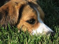 Les symptômes de la piroplasmose chez le chien