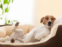 Diminuer les risques de torsion d'estomac chez le chien