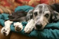 Diagnostiquer le syndrome de Cushing chez le chien