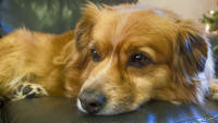 Les maladies cardiaques et vasculaires chez le chien