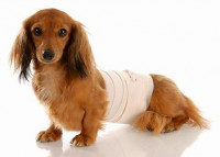 Le traitement des maladies de l'appareil digestif du chien