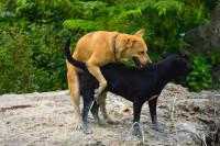 Les particularités des appareils génitaux du chien et de la chienne