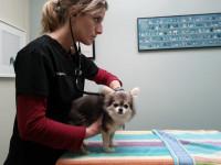 Les examens vétérinaires de l'appareil génital du chien