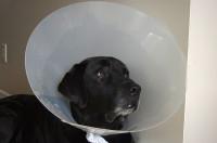 Le traitement des maladies de l'appareil respiratoire du chien